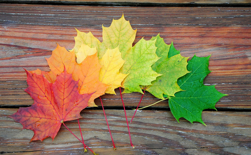 Maple leaves are laid out on a wood background in a rainbow from red, orange, yellow, light green, to green