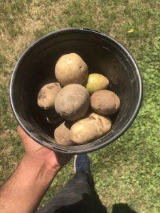 Hand holding a black pot of potatoes over grass